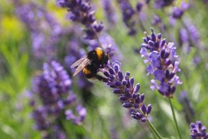 Lavender essential oil benefit